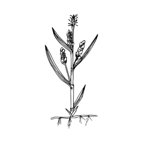 image: drawing of a sprouted herb with roots and buds